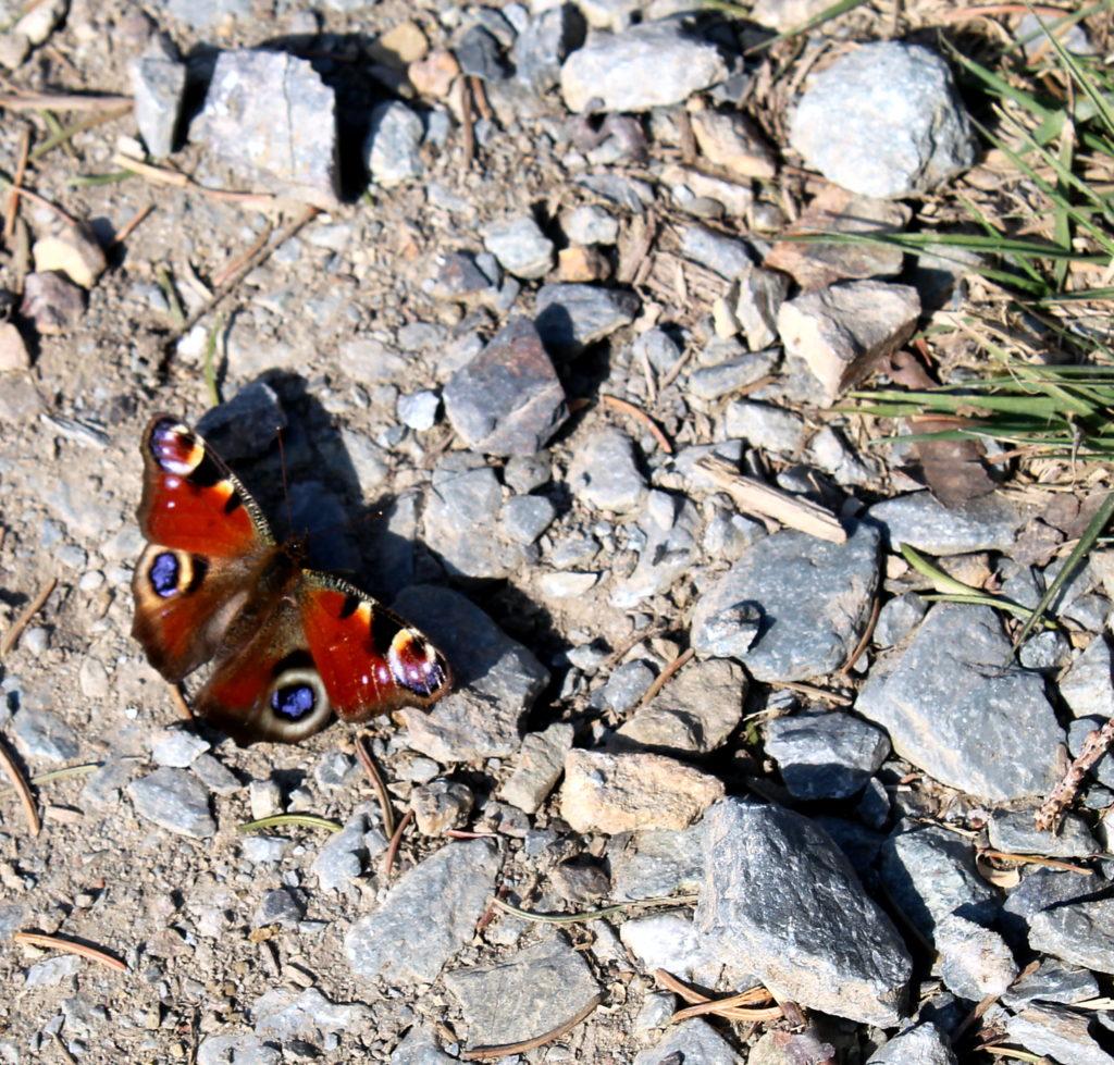 Ein Schmetterling auf dem Weg - ebenfalls auf unserem Spaziergang entdeckt