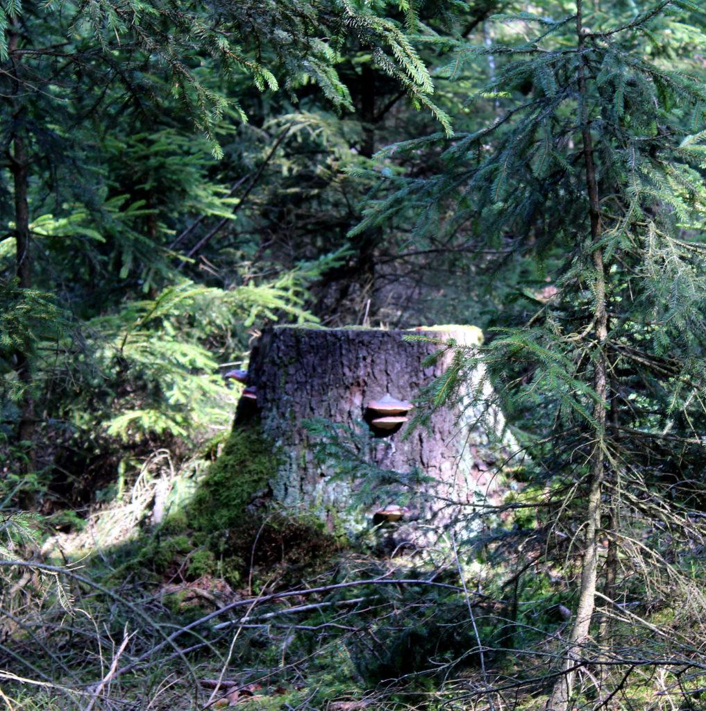 Ein überwuchterter Baumstumpf mitten im Fichtenwald, an dem Pilze wachsen - entdeckt auf unserem Spaziergang
